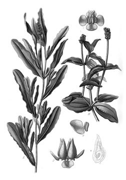 Potamogeton