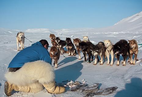 Traineau à chiens en baie de Disko ©Nicolas Dubreuil