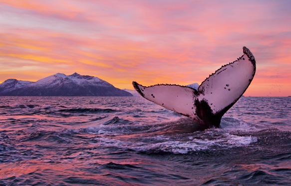 Baleines, orques et aurores boréales © Asgeir Helgestad Visitnorway.com